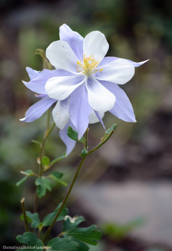 You can't visit the Colorado mountains without taking the obligatory columbine flower picture.  Unfortunately it was quite breezy and so I didn't get many good flower pictures but I thought this one was alright.
