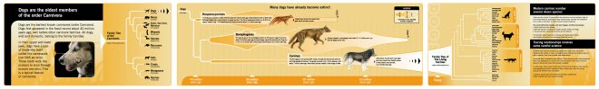 History of canines infographic based on fossils and DNA sequences.   I found this image here: http://www.wolf2woof.com/index.htm but it is unclear if this is the real source. If you know where this graphic came from please let me know so I can give proper attribution.  Click for a readable size.