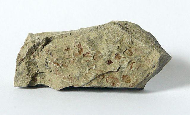 """Clam shrimp fossils. Palaeestheria minuta (Syn. Estheria minuta) aus der Erfurt-Formation, """"Estherienschichten"""" Hohenlohe, Deutschland. Image credit: Wikipedia - user Berndh"""
