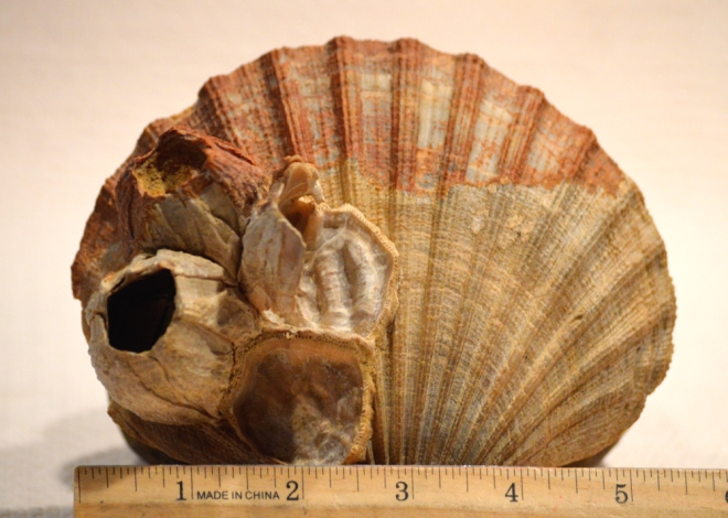 Top side of the same scallop as above showing several large barnacles attached.