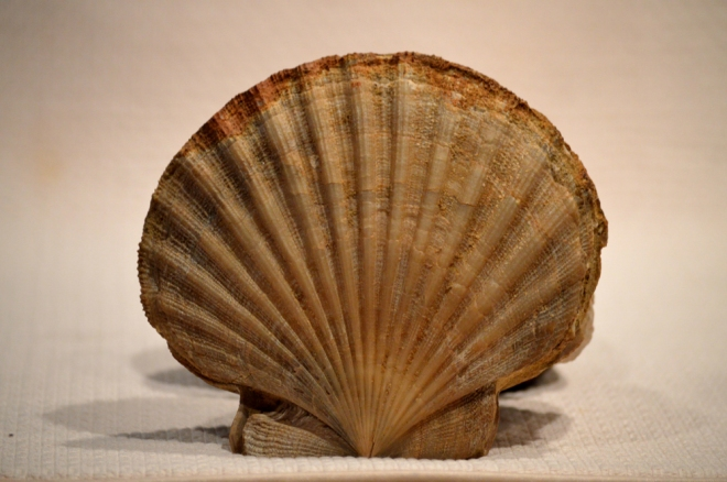 Large scallop collected by a friend from Calvert Cliffs in Maryland.  Image: Joel Duff