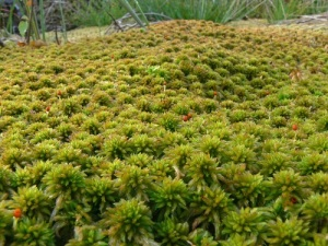 Raised sphagnum moss mat in a bog.  This little moss is the dominant plant in a peat bog.  Image from: http://rebeccataylormep.blogspot.com/2012/08/blanket-bogs-flooding-and-climate-change.html