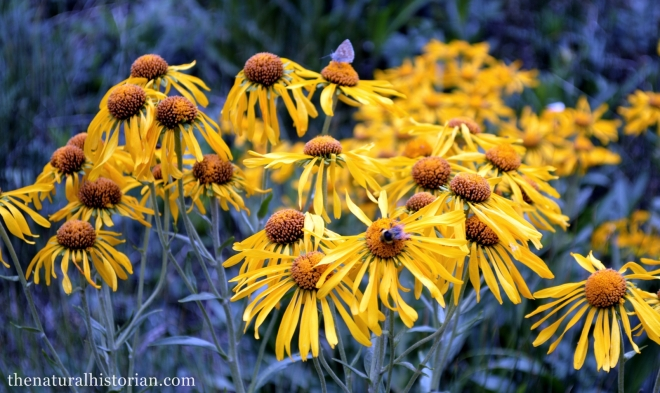 Sunflowers (I believe in the genus Helenium) along the Animas River about 10,000 feet in elevation.