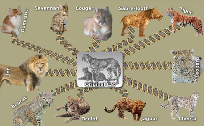 Typical YEC view of the evoltuion of cats. As if a pair of cats would give rise directly to lions, tigers, cheetahs and domesticated cats. Cats species seem to be just as they are in the Bible. There is not biblical evidence for these dramatic changes during the past 4500 years.