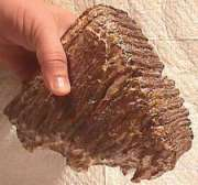A portion of a mammoth tooth obtained from North Sea seadbed and sold on-line.  Partially fossilized mammoth teeth are found in abundance here and are also available from many other sources as well.