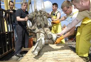 The skull of a mammoth is loaded on board a fishing vessel on the North Sea