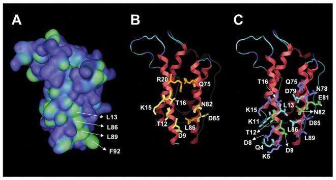 Molecular models of binding site II in mouse leptin. (A) Molecular surface map of leptin, coloured according to surface hydrophobicity (blue, hydrophilic; green, hydrophobic). A hydrophobic cleft is formed by residues L13, L86, L89 and F92. (B) Residues in binding site II that affect binding to CRH2 are coloured yellow. Residues in binding site II that affect both binding to CRH2 and LR activation are coloured orange. (C) Residues that become buried in the leptin/CRH2 interface, coloured according to the area that becomes buried (cyan, 50 Å2).  Iserentant H et al. J Cell Sci 2005;118:2519-2527