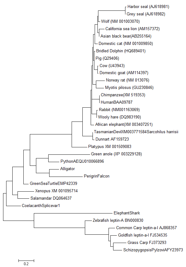 "A tree showing genetic similarity of leptin sequences for representatives of all vertebrate groups and the newly discovered falcon leptin sequence.  Notice that the falcon sequence shows up as most similar (closest to) the alligator which is what we predicted we would see.  As a side note you may notice that the coelacanth leptin is very very similar to the amphibian leptins rather than to fish even though coelacanths are fish.  Again this is not suprising since they are members of the lobefin fish that have been thought of as the probable ancestors of land animals and here we see that these fish have ""land animal"" like sequences compared to other fish."