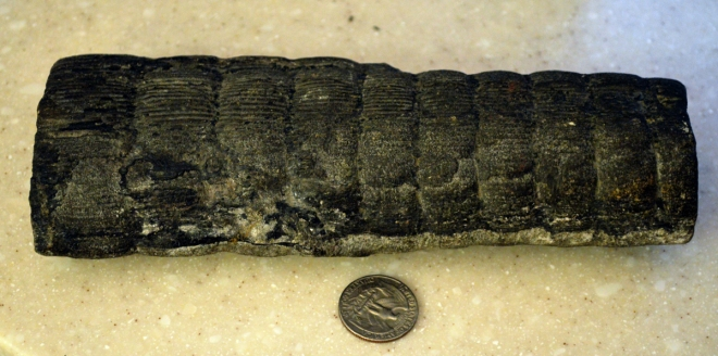 A portion of a Calamites stem from the Pennsylvanian Era collected in West Virginia. Image: Joel Duff