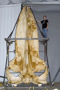 A blue whale skull measuring 5.8 metres (19 ft) in the collections of the Smithsonian Museum of Natural History. Image source: Wikipedia