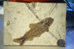 Knightia is the most common fossil fish from the Green River formation in Utah.  Image: Joel Duff