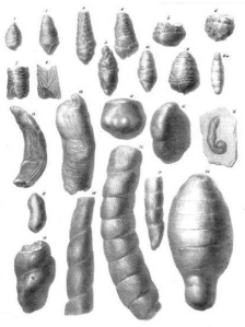 "Figure from: ""On the discovery of coprolites, or fossil faeces, in the lias at Lyme Regis, and in other formations"", Transactions of the Geological Society of London, series 2, vol. 3: 223–236 (1835). William Buckland"