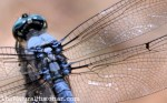 Blue-dragonefly-corolla-closeup