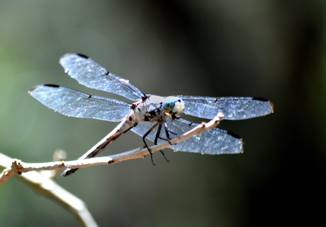 Blue-dragonfly-north-carolina-1600px