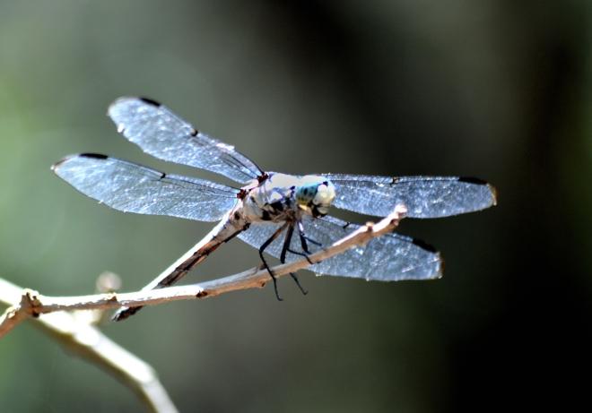 Blue-dragonfly-north-carolina-1600px