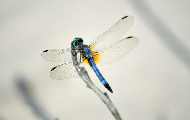 blue-green-head-yellow-spot-dragonfly1600px