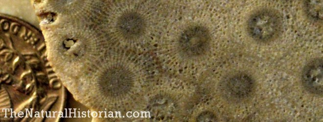 Close-up of fossilized coral.