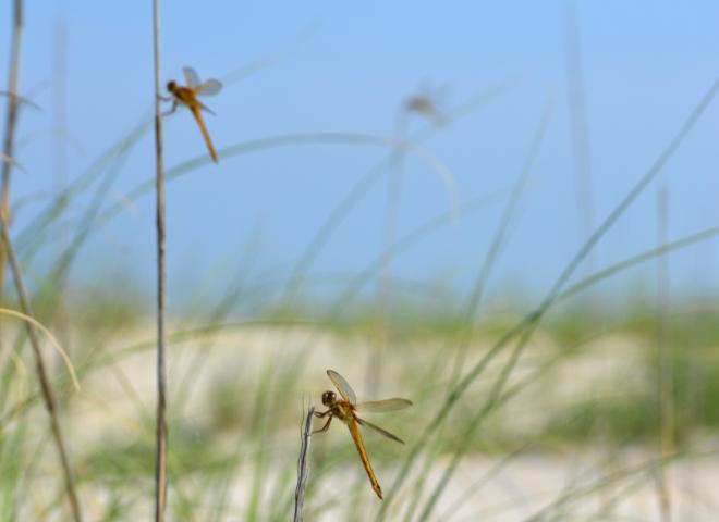 golden-dragonflies-dunegrass-outerbanks1600px