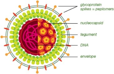 The structure of a herpes simplex virus. Like almost all viruses it consists of a coat of proteins surrounding the genetic material. The DNA holds the instructions for how to make all the proteins and assembly them back into a new virus.  But the virus can not make a copy of itself without entering into a host cell and getting it to read its DNA and carry out the instructions.  All viruses can be thought of as parasites on living cells.