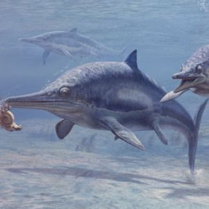 An ichthyosaur chomping on an ammonite.  Notice how similar this animal was to today dolphins.  Image from:  http://news.softpedia.com/news/The-Most-Northern-Pregnant-Ichthyosaur-36410.shtml