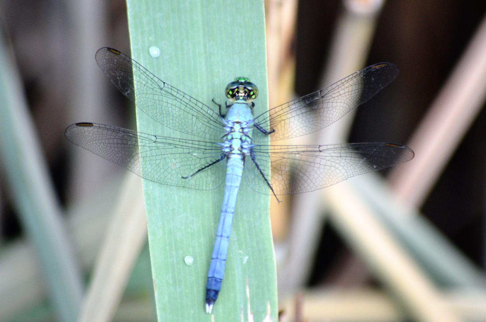 Green dragonfly pictures - photo#37