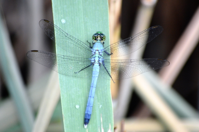 light-blue-dragonfly-green-head-1600px