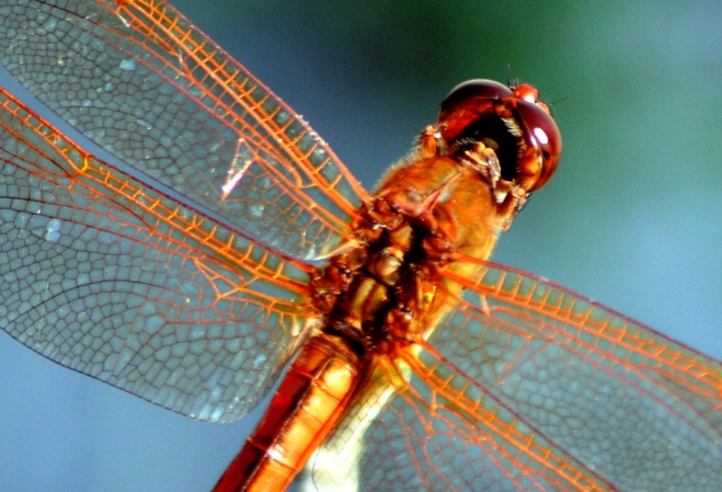 Orange-wings-dragonfly-close-up