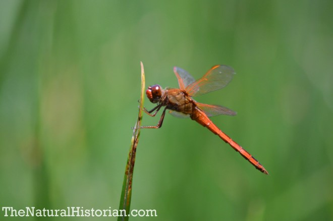 Dragonfly in the Currituck Banks Reserve, Corolla, NC, June 2014. Image: Joel Duff