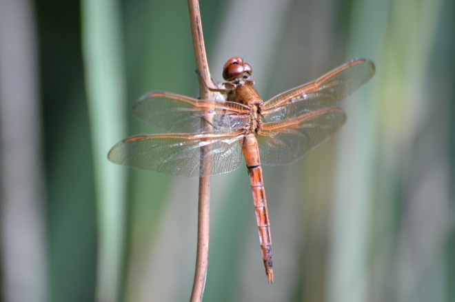 red-dragonfly-whaleheadwalk1600