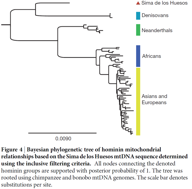 A comparison of the amount of similarity in mitochondrial DNA between individual humans, Neanderthals and other fossils. Fig. 7. Nature (2013) doi:10.1038/nature12788 A mitochondrial genome sequence of a hominin from Sima de los Huesos.  Matthias Meyer et al.