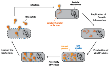 Simplified virus life-cycle showing a virus infecting and using a bacteria to make more viruses.  The herpes simplex virus is similar. It uses the cell machinery like a parasite to make copies of its self.