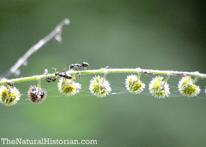 Ants on fruiting plant