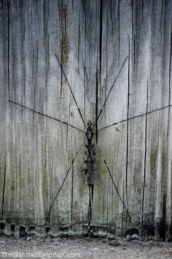 Large cranefly (6 inches)