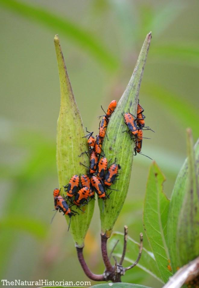 Immature milkweed bugs