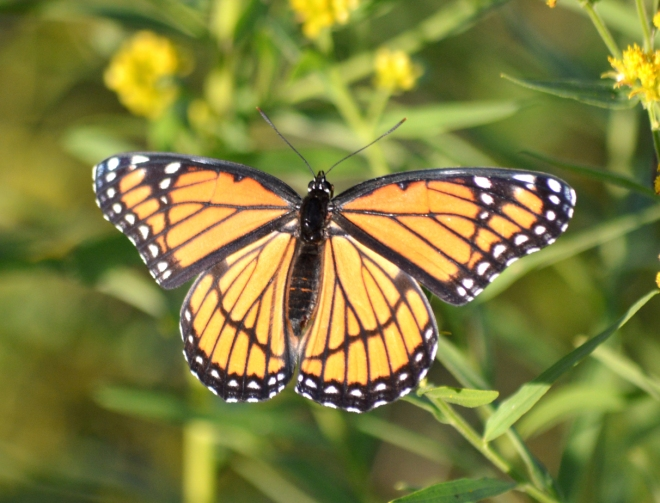 A viceroy butterfly (not a monarch butterfly)