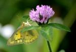 Yellow-butterfly-springfieldbog1500