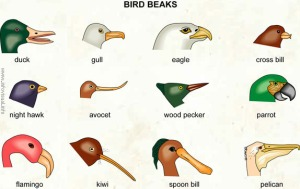 Bird beaks are very diverse.  They are adapted for many different tasks.