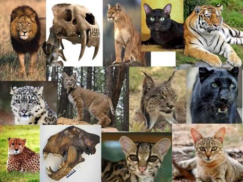 Cat-diversity-slide-creationism