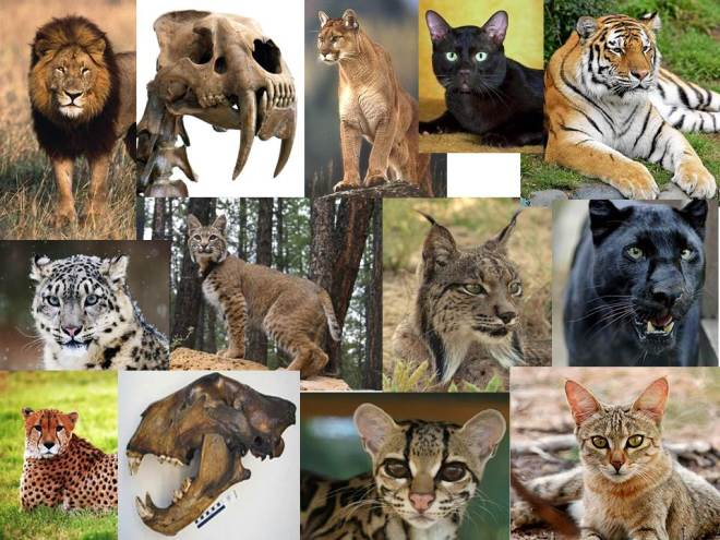 Cat-diversity-slide-creationism