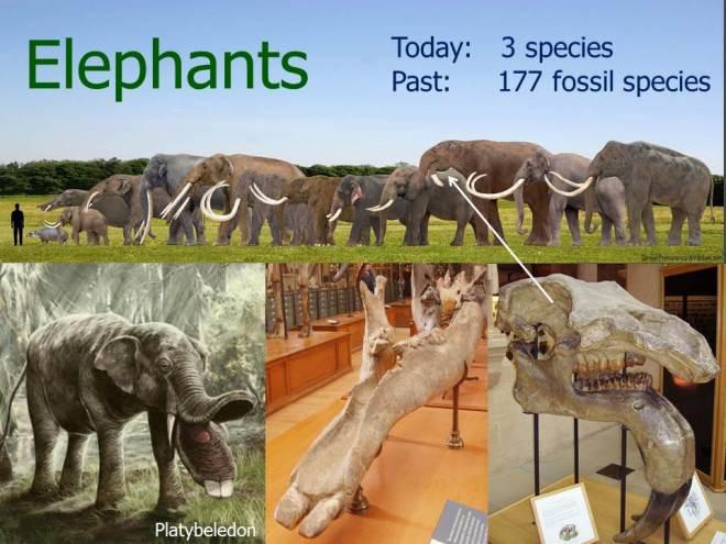 Elephant-diversity-presentation-slide