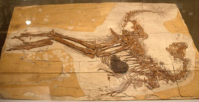 A dinosaur fossil with preservation of feathers. By Kabacchi (Caudipteryx - 01Uploaded by FunkMonk) [CC BY 2.0 (http://creativecommons.org/licenses/by/2.0)], via Wikimedia Commons