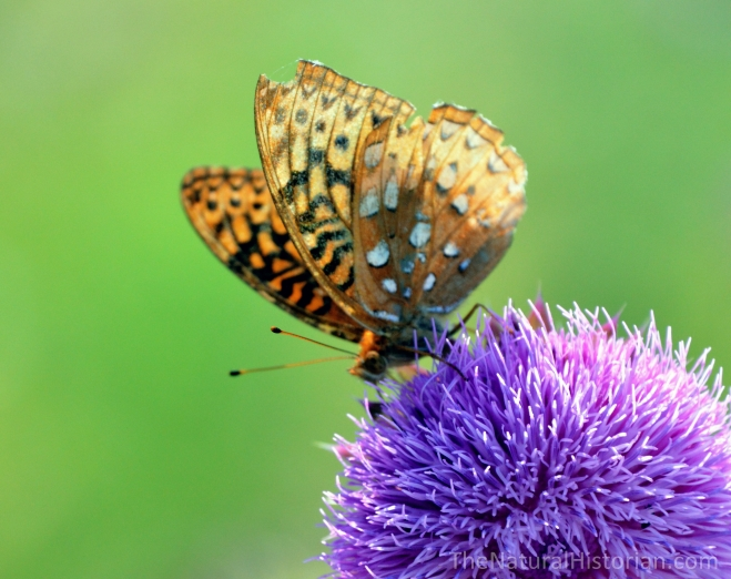 ButterflyonThistle2