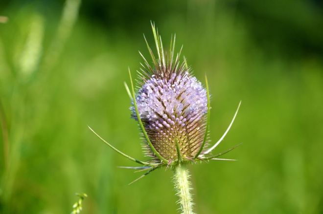 Teasle-flower-greenbackground
