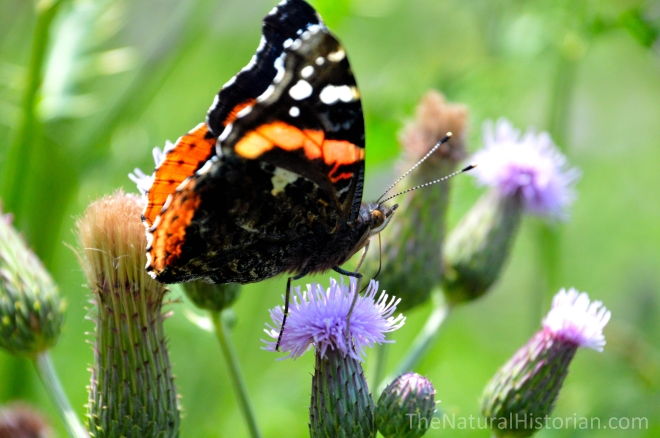 Thistle-butterfly