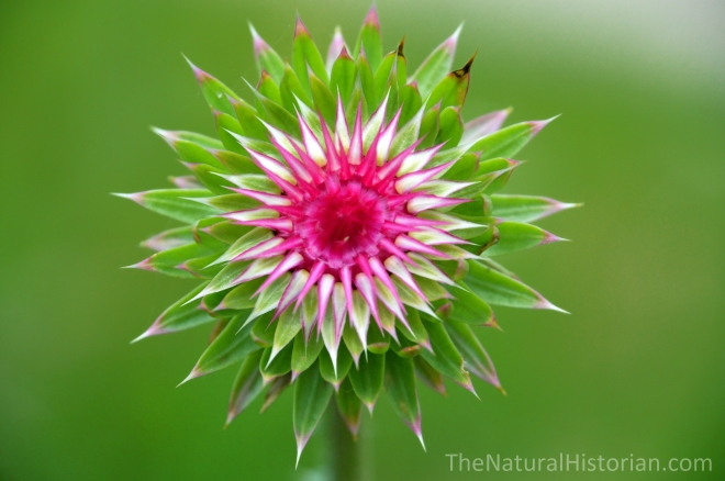 Thistle-carduus-just-opening-Wisconsin