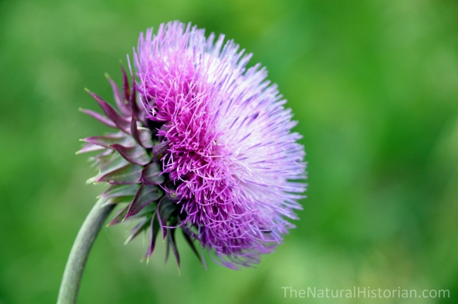 Thistle-flower-Musk-Carduus-wisconsin