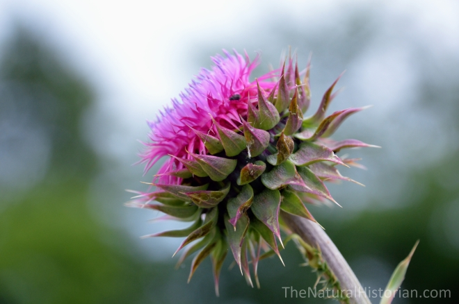 Thistle-flower-opening