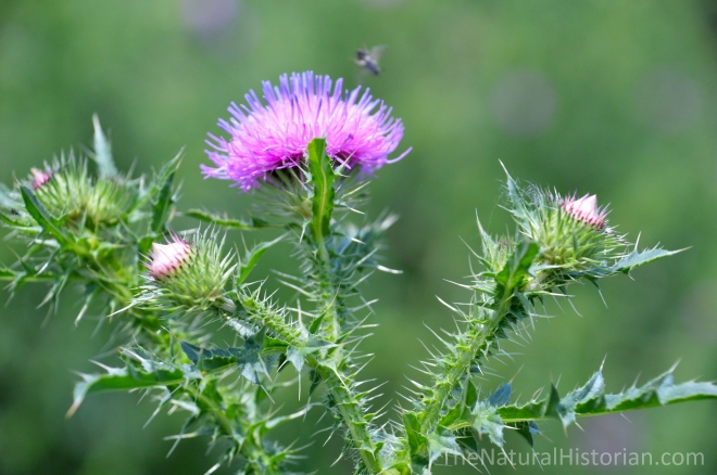 Thistle-plant-purple-spines-leaves-Wisconsin