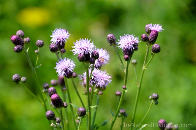 Thistles-cirsium-purple-wisconsin