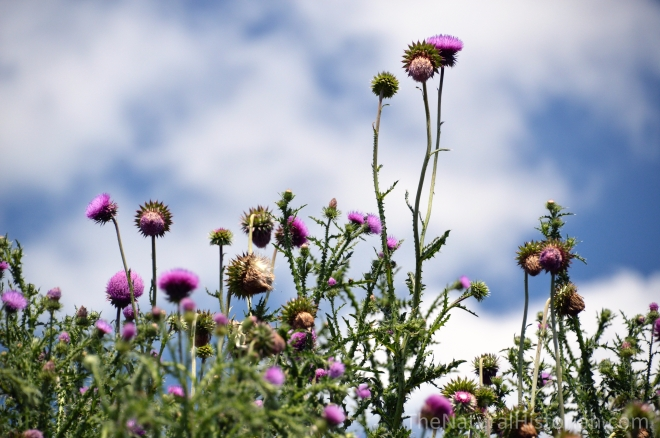 Thistles-purple-patch-carduus-bull-wisconsin